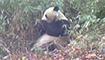 四川马边:再次拍摄到野生大熊猫